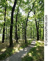 Oak forest in spring