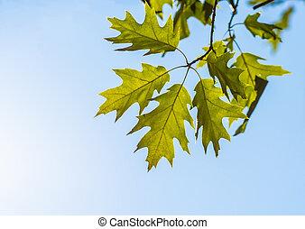 Oak green leaves in the summer