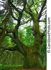 oak., groot
