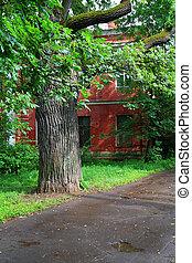 oak in old park