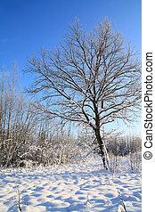 oak in snow on winter field