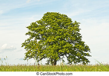 oak in spring