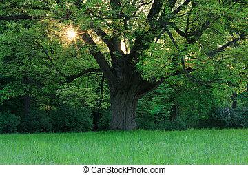 Oak in the spring meadow