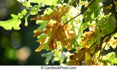 oak in the wind on sunny autumn day