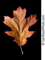 Oak Leaf 1 with clipping path