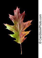 Oak Leaf 4 with clipping path