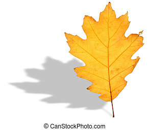 oak leaf and shadow - close-up of dry oak leaf and its...