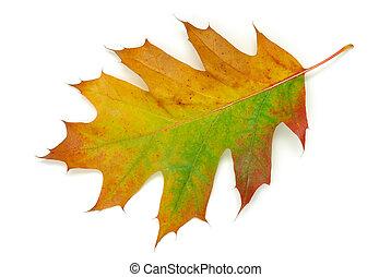 Oak leaf - Autumn oak leaf isolated on white background