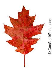 Oak leaf - Autumn red oak leaf isolated on white background