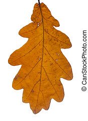 Oak leaf - Brown oak leaf isolated on the white background.