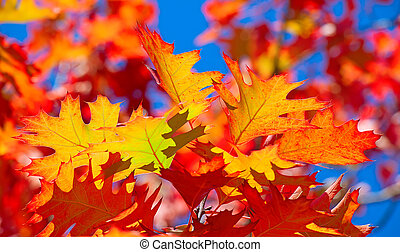 Oak leaf - Colorful oak leaf in the autumn
