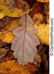 Oak leaf - fallen oak leaf in autumn with water drops