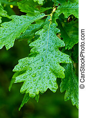 Oak leaf - Green oak leaf with drops (Quercus robur)