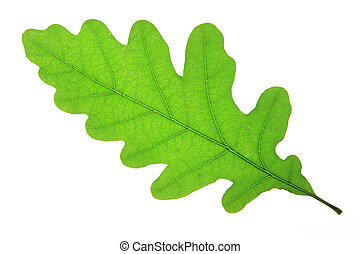 Oak leaf isolated against a white background (Quercus robur)