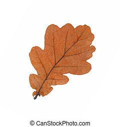 Oak leaf isolated on white background