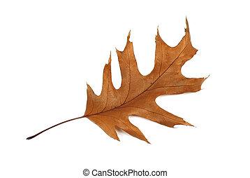 Oak leaf isolated