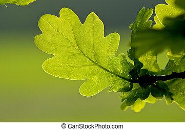 Oak Leaf - Single green oak leaf on branch with countryside...
