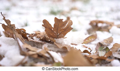 Oak leaf trembles in the wind on the snow