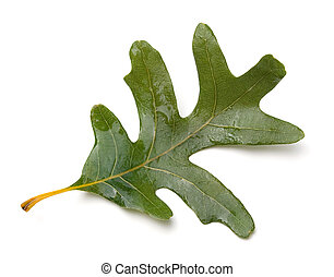 Oak Leaf - White Oak (Quercus alba) leaf isolated on white...