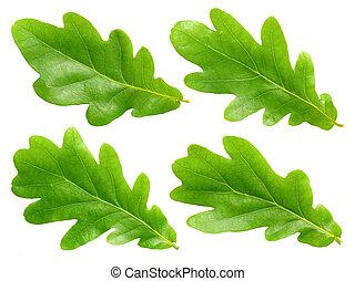 Oak leafs. - Green oak leafs set isolated on white...