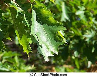 Oak leafs - Northern Red Oak (Quercus rubra)