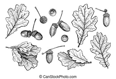 Set of different hand drawn oak leaves and acorns. Vector illustration in sketch style, botanical design elements isolated on a white background