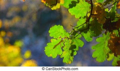 oak leaves against the background of the wood