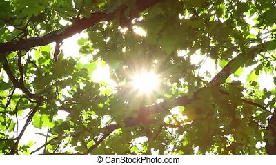 oak leaves and the sun