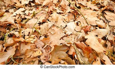 Oak leaves. Autumn park ground with carpet of dry orange oak leaves, broken twigs and long pine needles. Slow camera movement close up to ground.