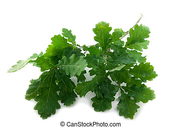 Oak leaves - Branch of healthy green oak leaves on white...