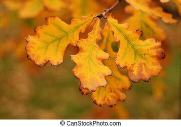 Oak leaves close-up in fall