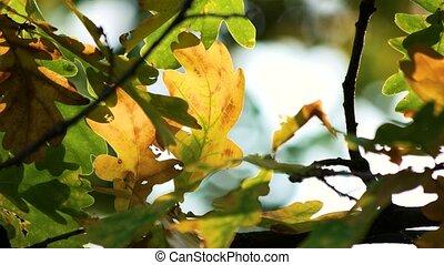 Oak leaves, close up. Macro view.