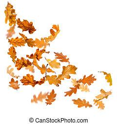 Oak leaves falling - Oak autumn falling leaves, isolated on...