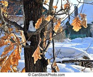 oak leaves frozen on the tree