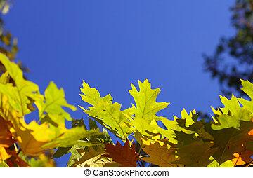 oak leaves, golden autumn