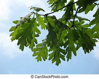 Oak leaves in blue sky