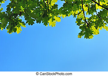 Oak leaves in the summer with blue sky