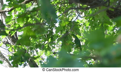 Oak leaves in the tree crown. Look up