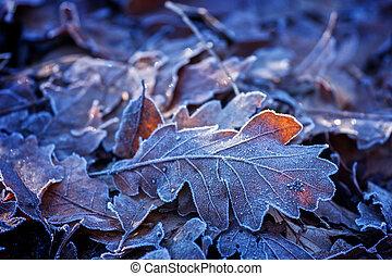 Oak leaves in winter