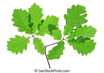 Oak leaves isolated against a white background (Quercus...