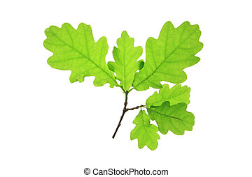 Oak leaves isolated against a white background (Quercus ...