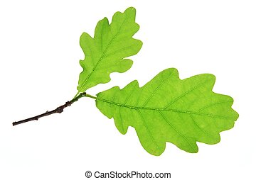 Oak leaves on a little twig, isolated against a white...