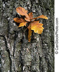 Oak leaves on background of the cortex.