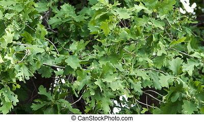 Oak leaves swaying from light wind