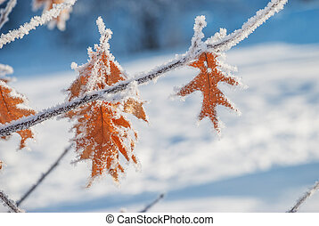 Oak leaves with a hoarfrost