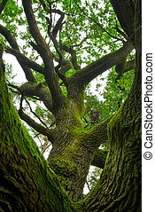 oak., machtig