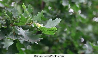 Oak. - Oak leaves and acorns.