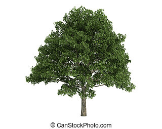 Oak or Quercus