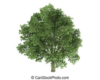 Oak or Quercus robur