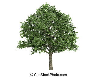 Oak or Quercus robur - Oak or latin Quercus robur isolated...